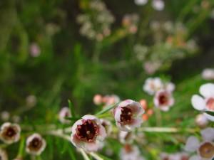 geraldton, wax, up-close, flowers