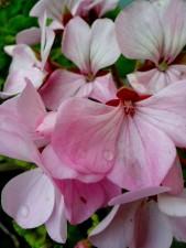 pétales, géranium, fleur