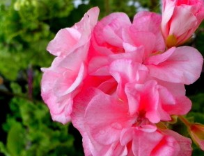 roze, bloeiende, geranium, bloemen