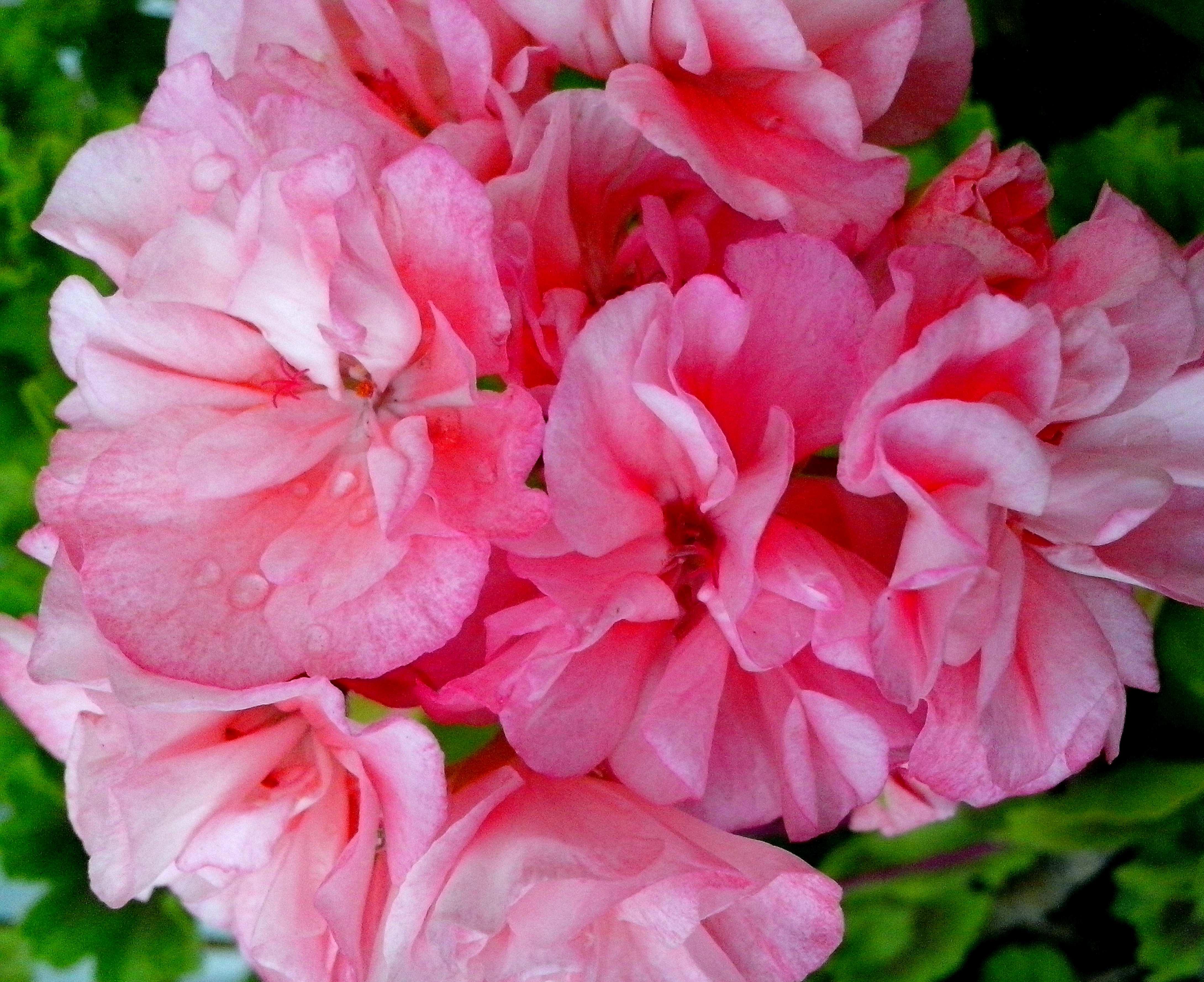 Free photograph; pink, geranium, flowers, close, petals