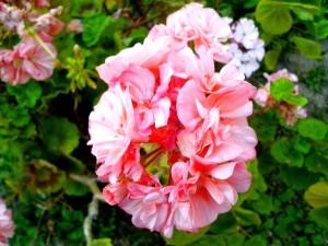 rouge, blanc, géranium, fleurs