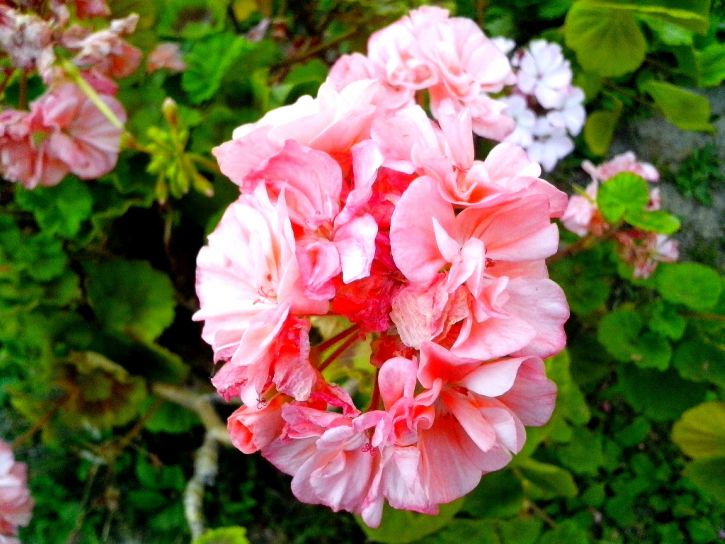 red, white, geranium, flowers