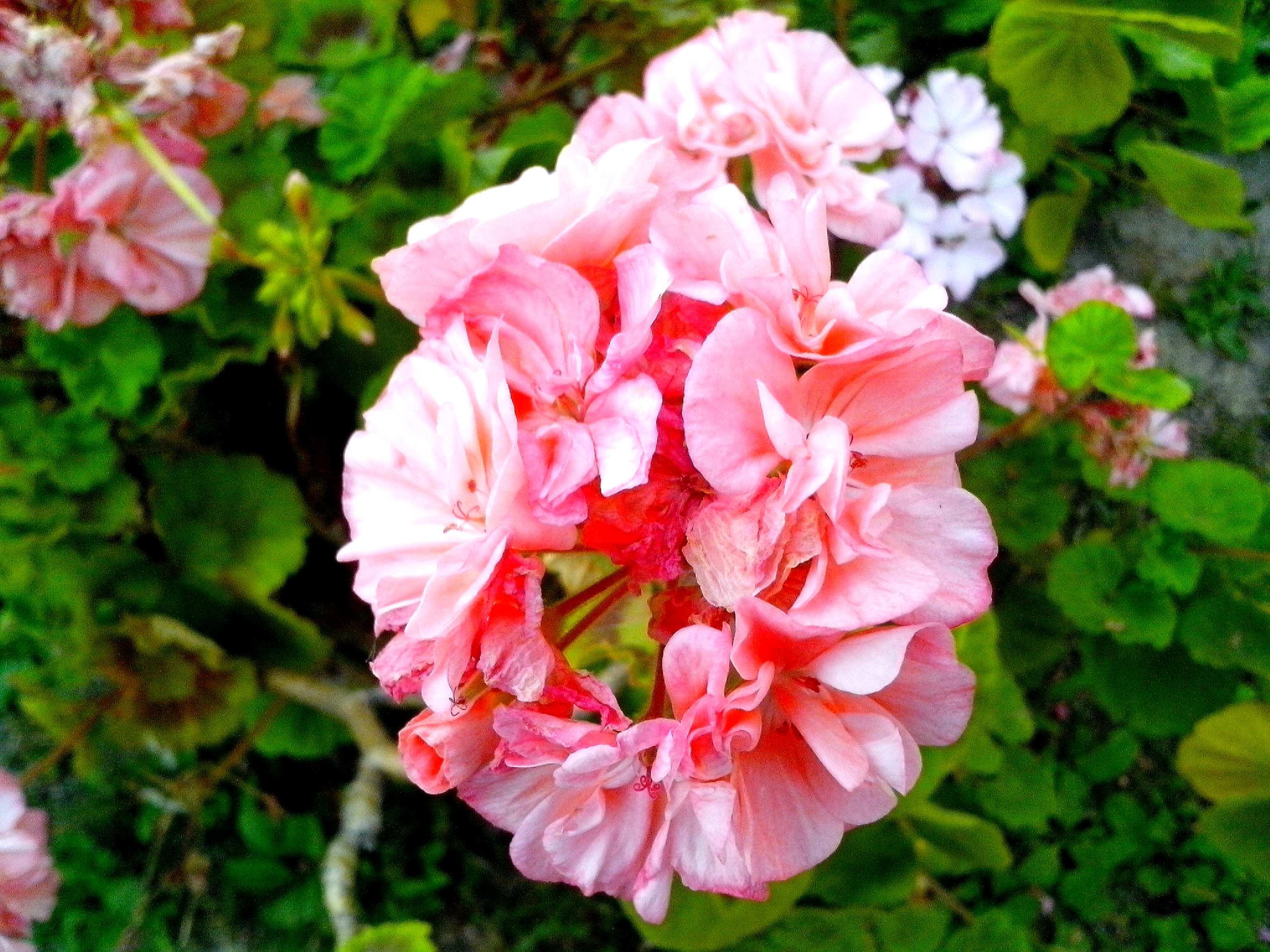 Free photograph; red, white, geranium, flowers