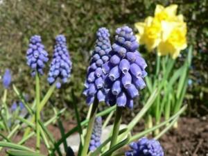 grape, hyacinth