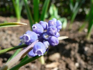 raisin, jacinthe, plante