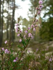 brezo, flores, Calluna vulgaris,