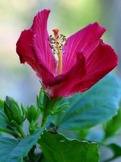 hibiscus, blooming, blooms, flowers