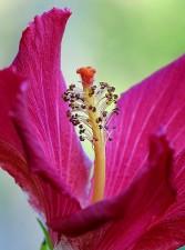 hibiscus, beau, fleur rouge