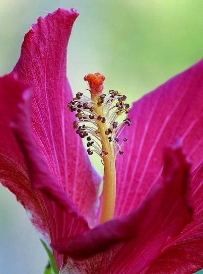 hibisco, hermoso, flor roja