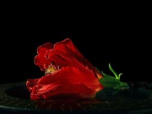 hibiscus, fleur, plante