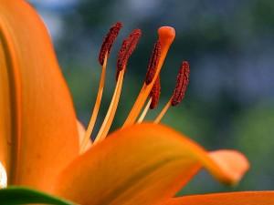 orange, fleur rouge, hibiscus