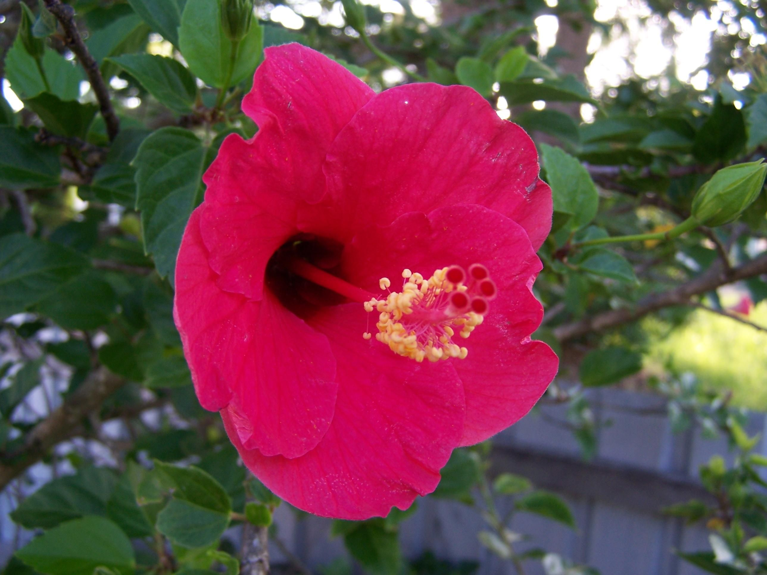 Free picture red hibiscus flower red hibiscus flower izmirmasajfo