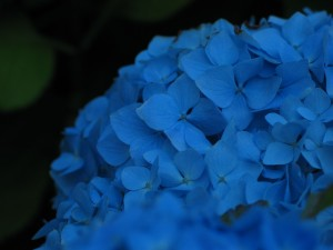 bleu, hortensia, fleur, gros