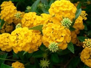 or, fleur, hortensia