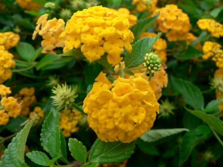 or, hortensias, fleurs