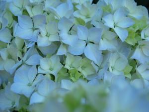 hortensia, fleur, macro