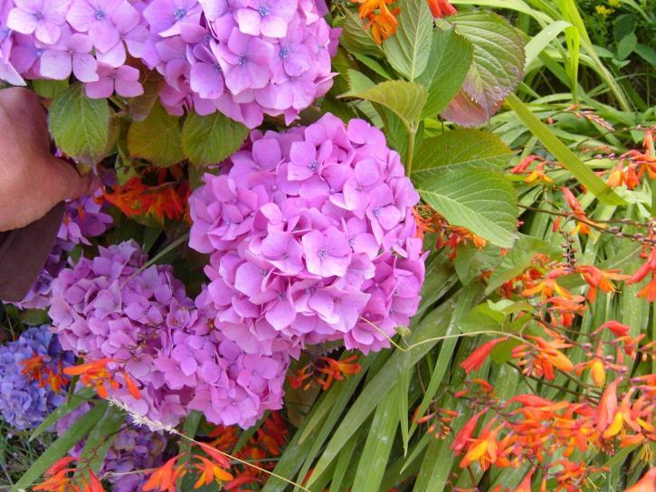 hortensia, fleurs, hortensia, macrophylla