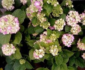 hortensia, fleurs, blanc