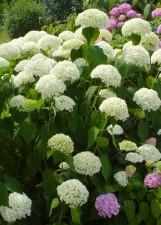 hortensia, macrophylla, fleur