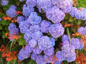 hortensia, violet, bleu, hortensia, macrophylla
