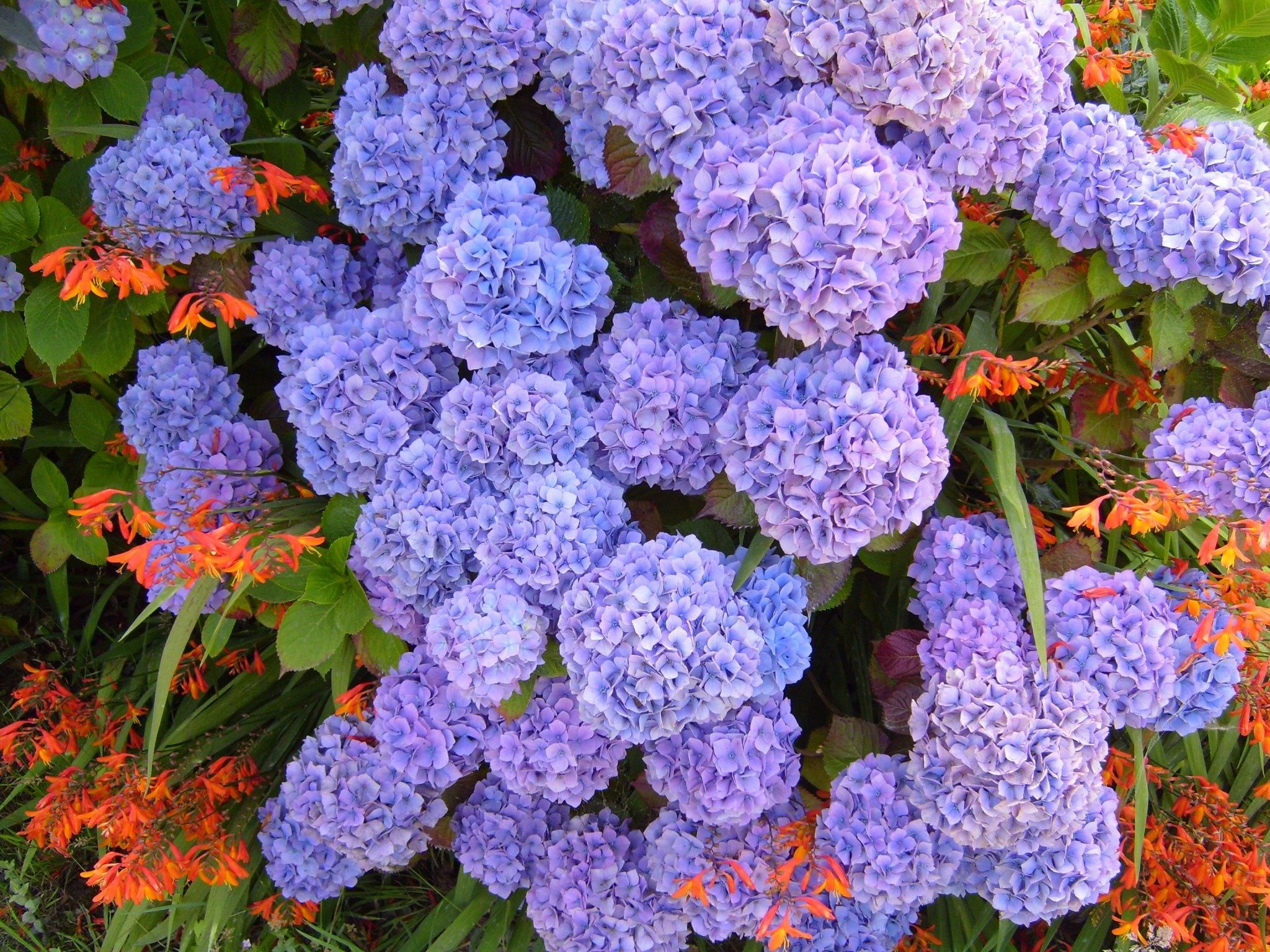 Hydrangea Purple Blue Macrophylla