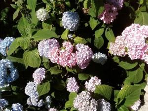 hydrangeas, park, flowers