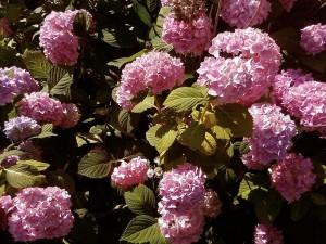 rose, hortensia, fleurs