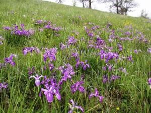 baldtop, iris, Ranunkel, cover, prærie, bjergside