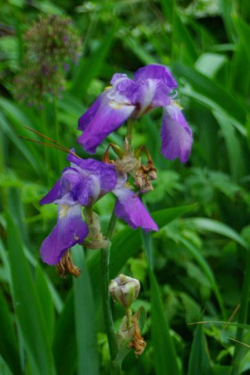 blå, flag, iris, kronblade, up-close, blomst