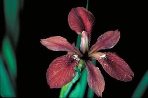 copper, iris