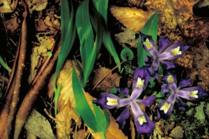 dwarf, crested, iris, flower