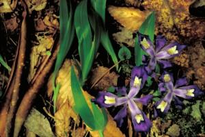 enano, con cresta, iris, flor