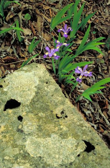 Iris con cresta, flores, flores púrpuras