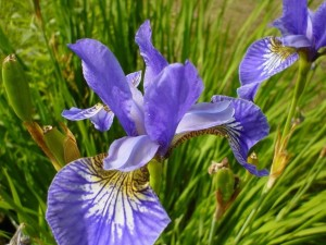 iris, bella, flor púrpura