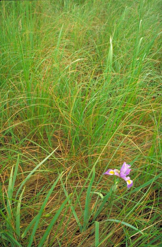 blue, flag, iris, flower, purple, blue, accents, blossom, long, grass