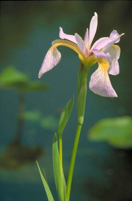 blue, flag, iris, plant, iris, versicolor, yellow, accented, blossom