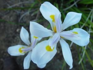 white, dutch, irises