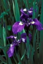 hoang dã, iris, Hoa, iris, setosa