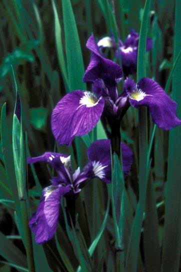 divlji, iris, cvijet, iris, setosa