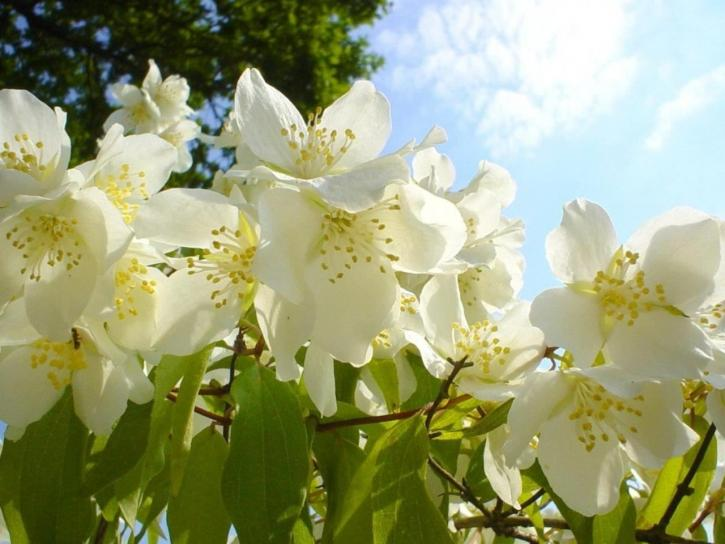 jasmin, fleurs