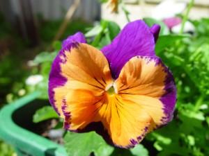 joker, flower, perth, glory, colours, joondalup