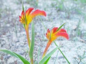kangourou, fleur, Anigozanthos, bicolor