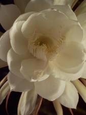 Lady, ban đêm, epiphyllum, oxypetalum