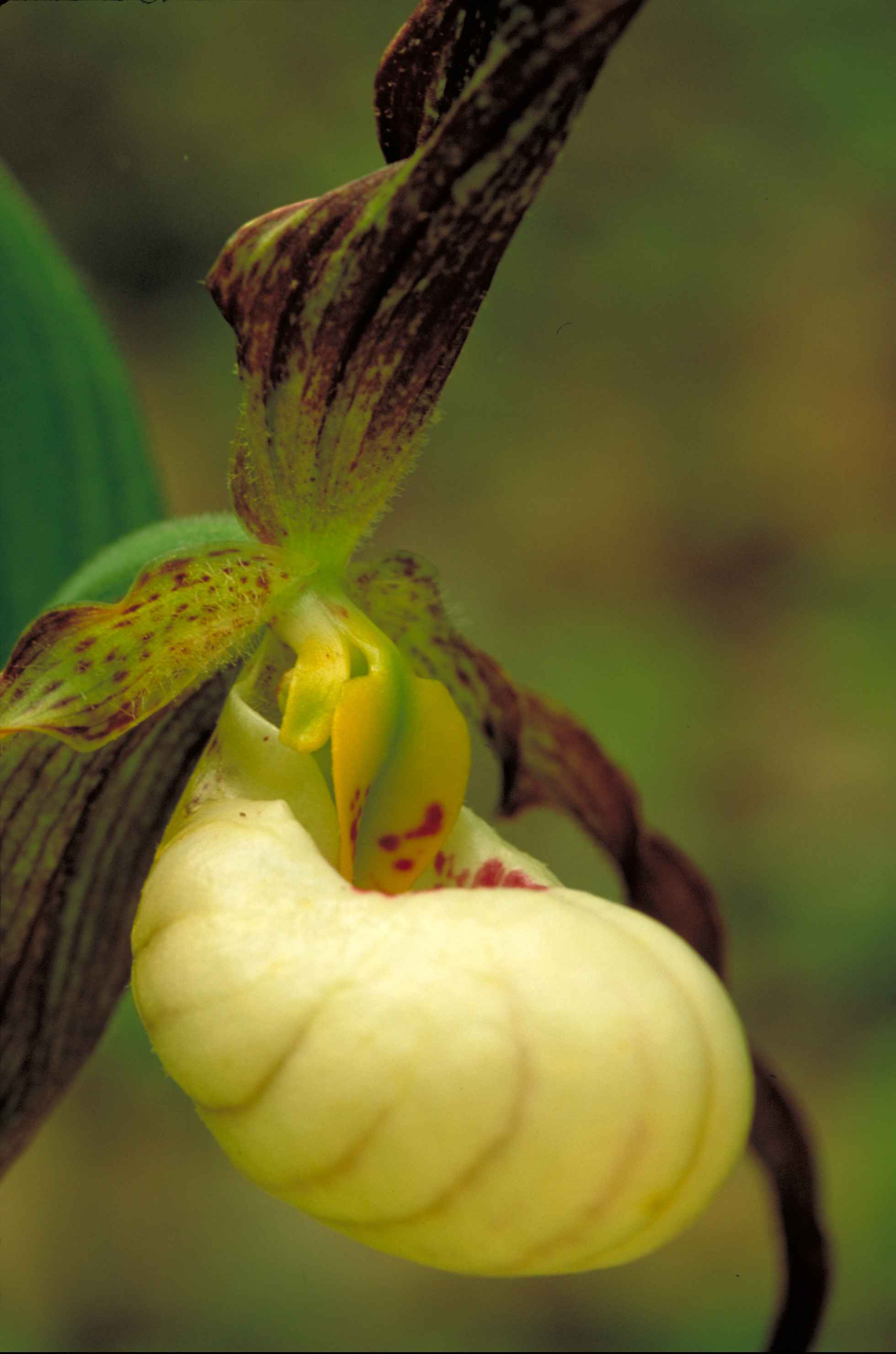 Free Picture Hybrid Flower Prairie Lady Slipper Yellow Lady