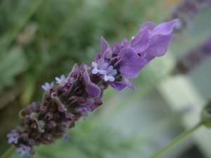 лавандула, цветя, lavandula, aristibracteata