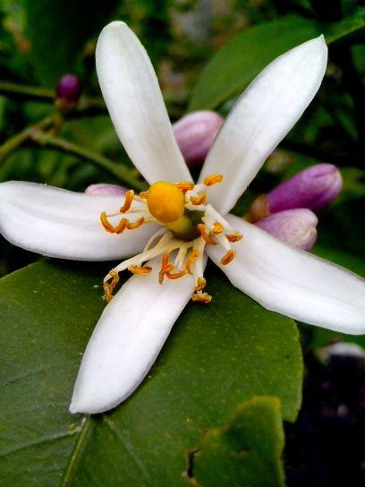 lemon, flower, full, bloom