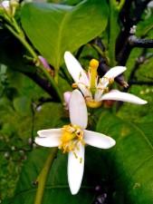 lemon, flowers, blooming