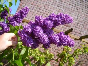 lilac, syringer