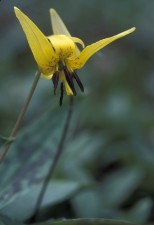 up-close, yellow, trout, lily, erythronium, Americanum, flower, trout, lily