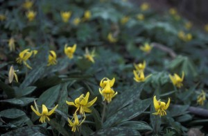 many, yellow, trout, lily, flowers, dogtooth, violet, erythronium, Americanum